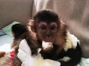 Capuchin monkey stolen